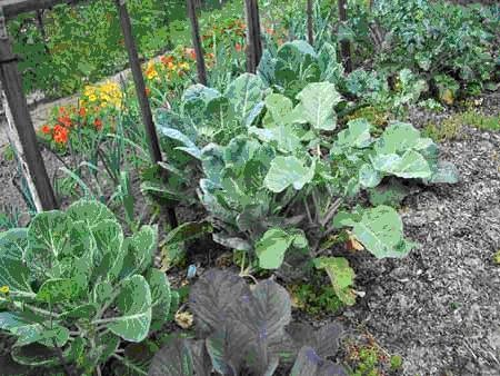 Vegetables growing on Hall Green allotment